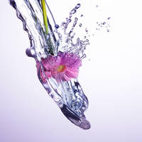 23_Splash_Gerbera
