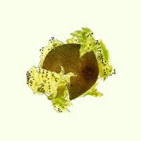 43_Kiwi_Flatfruit
